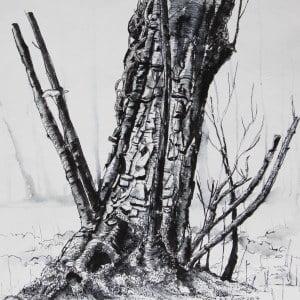 Ivy clad oak 3, Limited edition print , large, framed